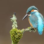 Kingfisher, moss