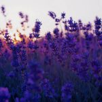 Blue Lavender desktop wallpaper