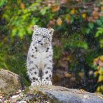 Kitten, snow leopard