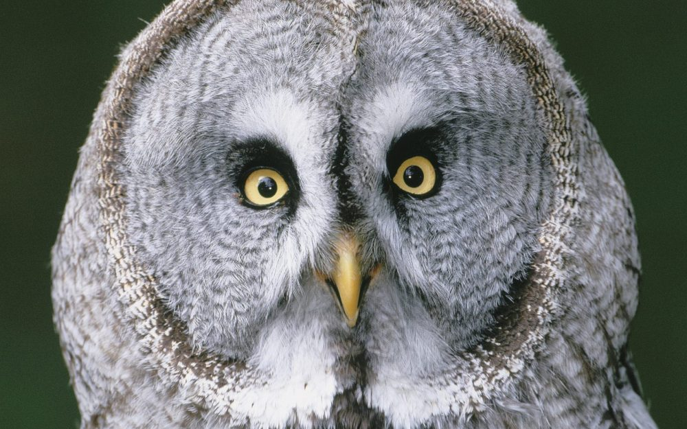 Owl eyes, birds