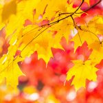 Trees autumn maple leaves desktop background