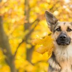 German shepherd maple leaf fall wallpaper