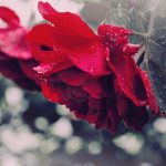 Rose leaves, red, drops, macro, beauty, flowers