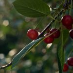 Red, green, foliage, berries