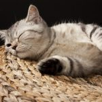 Kitten, sleeping, striped, small, british