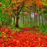 Autumn forest leaves red