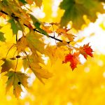 Maple leaves tree autumn sun wallpaper