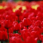 Tulip flowers hd wallpaper