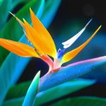 Beautiful bird of paradise flowers hd wallpaper