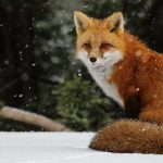 Winter, snow, snow, snow, fox pictures, wallpaper