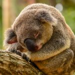 Tree, koala, sleep, green forests, animal wallpaper