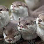 Otter, small families, staring eyes, animals, animal theme wallpaper