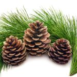 Tree, fir, pine cones, pine needles, tree
