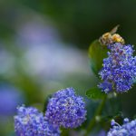 Blue, flowers, flower, plant, blue