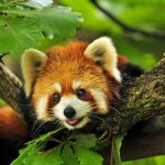 Red panda, panda, tree branches, forest, cute animal wallpaper
