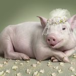 Pig, bride, wedding, cute wallpaper