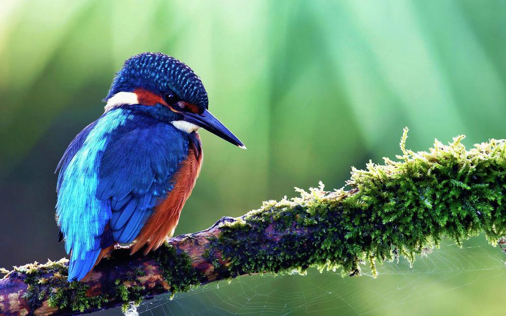 Beautiful kingfisher wallpaper