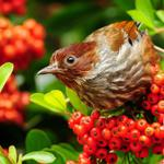 Bird on rowan berries