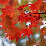 Leaves, autumn, branches, glare, maple, tree, red
