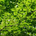 Eye protection summer tree leaves and branches computer desktop wallpaper