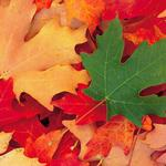 Autumn maple leaves falling picture desktop wallpapers
