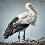 Stork, bird, grass wallpaper