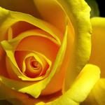 The most beautiful yellow roses hd wallpaper