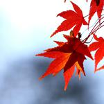 Leaves, autumn, sky, maple, red, branch