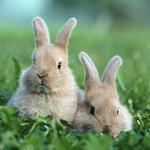 Two rabbits in the grass