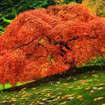 Fire red leaves of trees