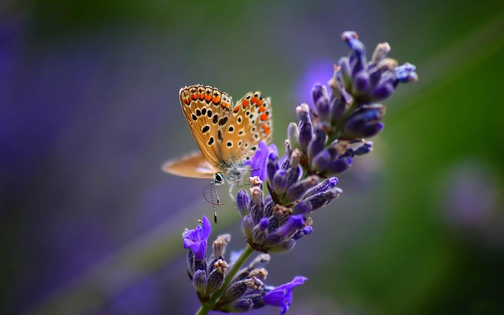Fall in love with lavender butterfly desktop background