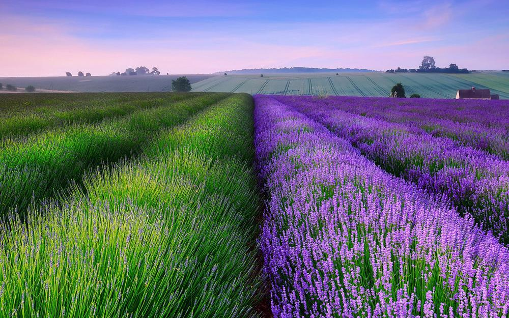 England lavender wallpapers