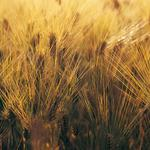 Spikelets, wallpaper, nature, photo, plants, background, close-up