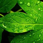 Hd green leaves dripping eye computer wallpaper