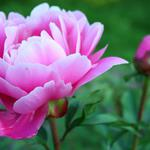 Beautiful peony flower hd wallpaper