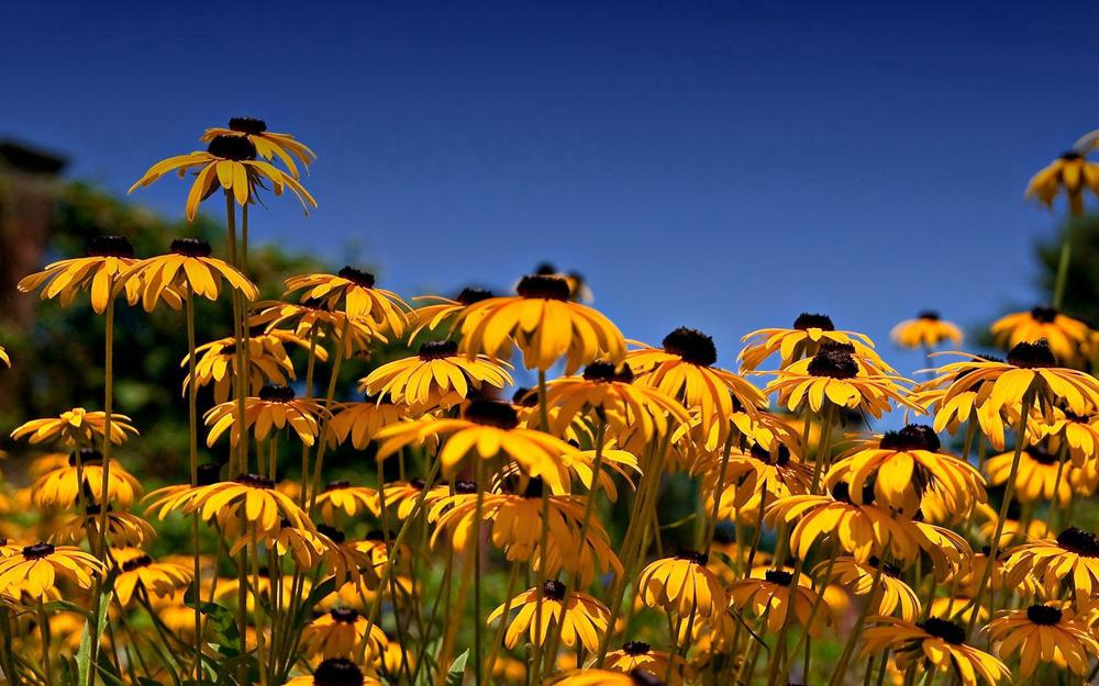 Yellow, flowers, rudbeckia, clearing