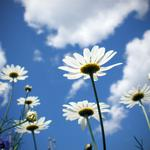 Clouds, chamomile, clear, field, sky