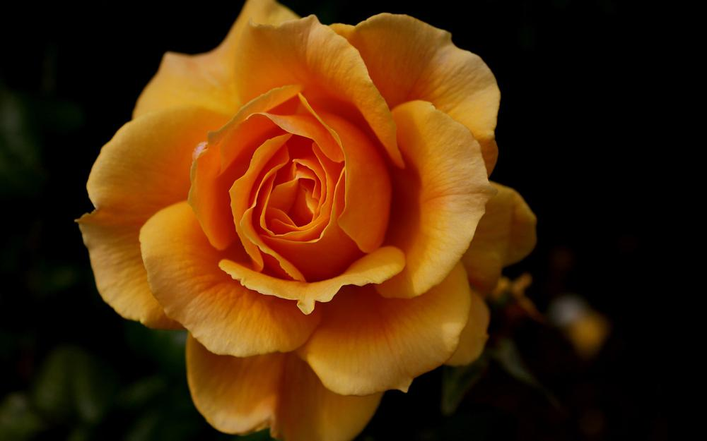 Roses, orange, black background pictures, flowers, wallpaper
