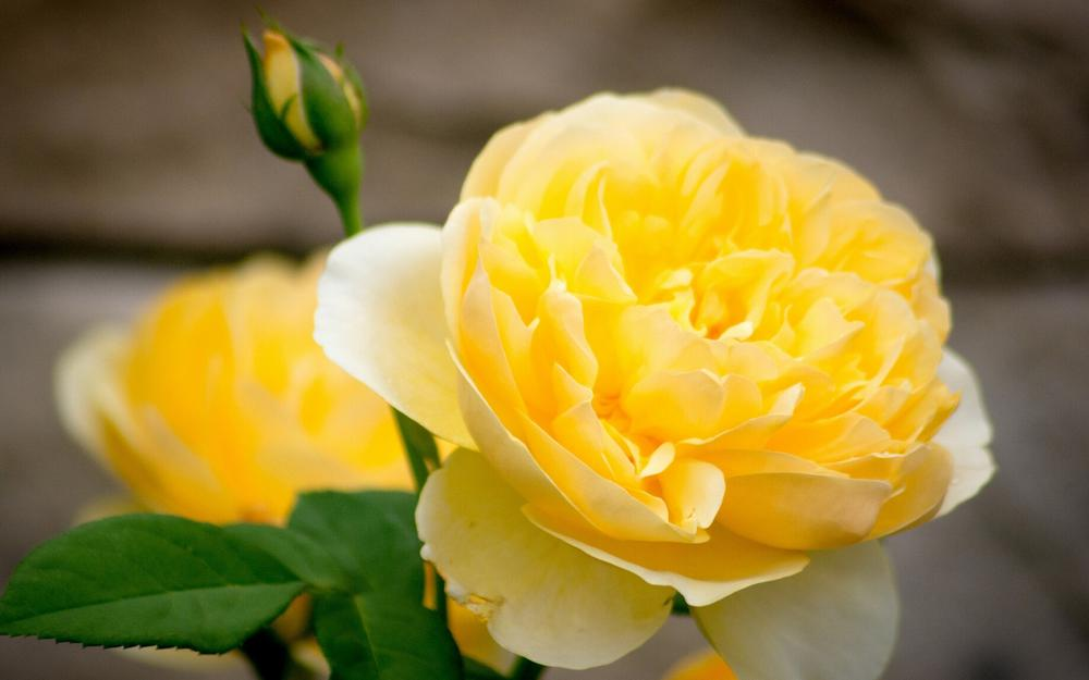 Yellow rose petals, buds, close-up pictures of roses, flowers ultra-clean wallpaper
