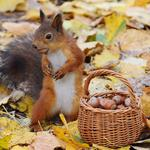 Fall, squirrels, lovely posture, baskets, nuts, squirrel wallpaper