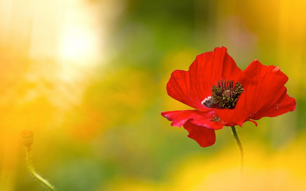 Under photograph flowers, red poppy, light, flowers, lighting conditions, wallpaper