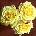 Yellow, rose, three wallpaper
