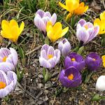 Spring, flowing, flowers, crocuses wallpaper
