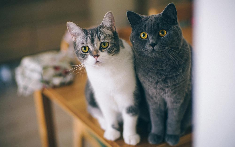 Dinner friends, two cats, cute eyes, face, beard, look, attentive, fascinated, wallpapers