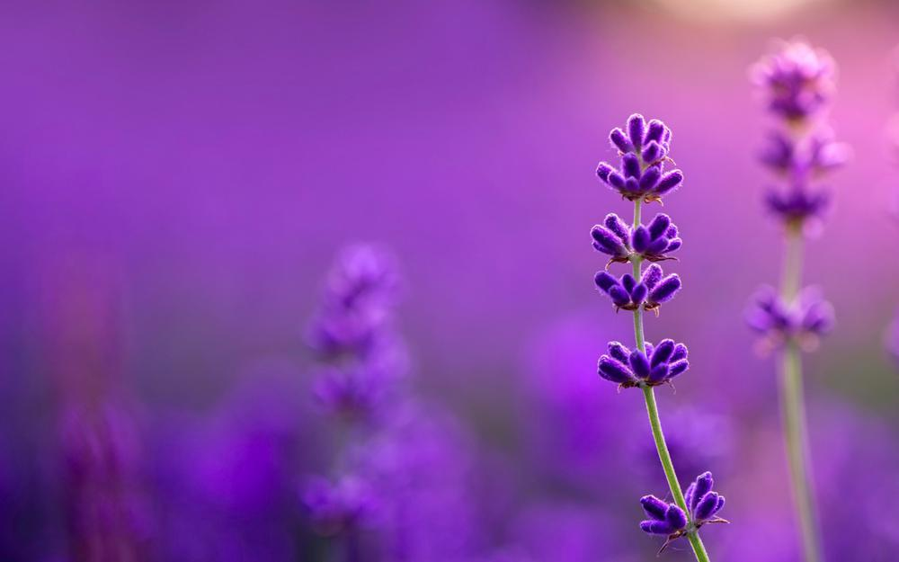 Purple lavender wallpaper