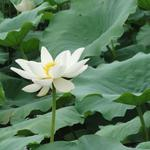 White, lotus, leaves