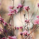 Buds, twigs, blossoms