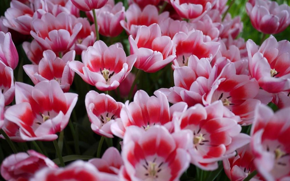 Flowerbed, tulips, licentious
