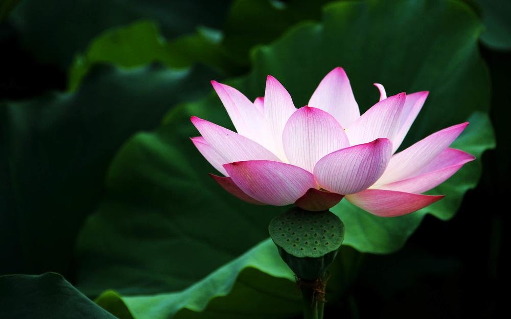 Lotus wallpapers hd
