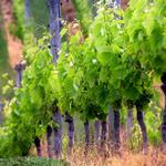 Small fresh green vineyards landscape wallpaper